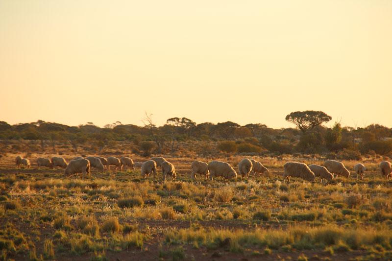 working station, merino sheep. Mt Eba Station