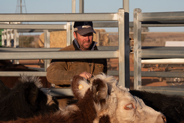 Experience cattle work as part of Mt Eba's working station